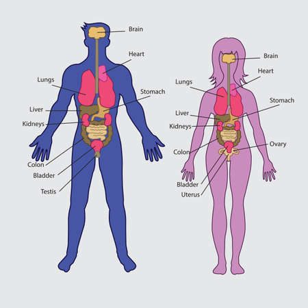 male and female: Basic human internal organs vector