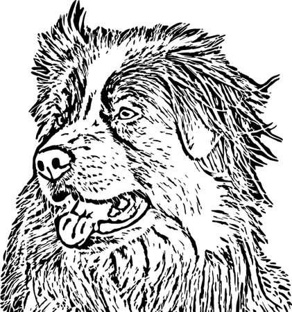 australian shepherd: Australian shepherd vector Illustration