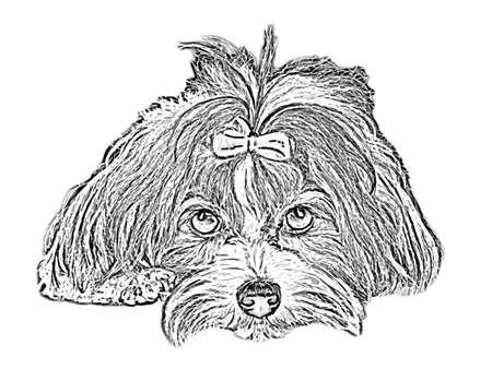 havanese: havanese dog vector