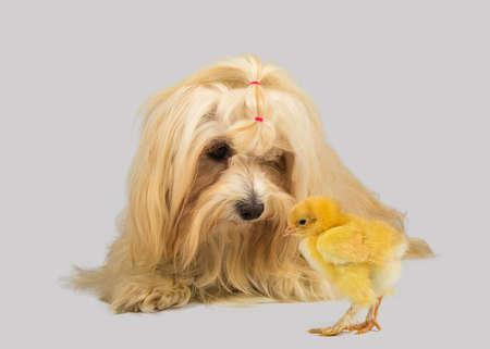 havanese: havanese dog with chick