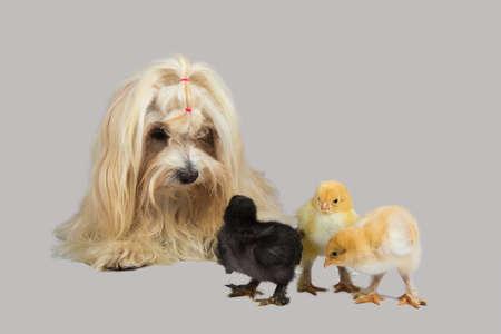 havanese: havanese dog with chick