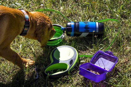 Fox red labrador retriever lying in green grass.