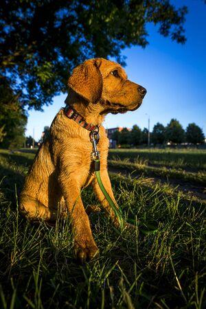 Fox red labrador retriever sitting in green grass. Banco de Imagens
