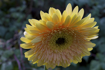 yellow gerbera in the sunshine