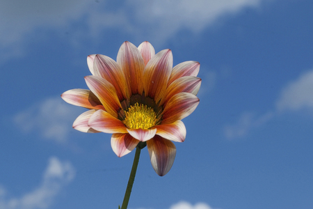 Gazania flower on blue cloudy background