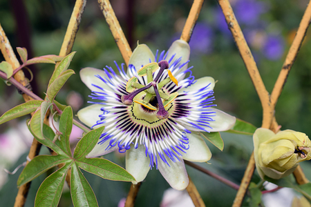 nice colorful passionflower in my garden Banque d'images
