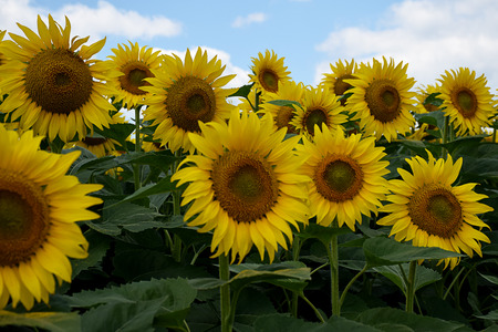 nice sunflowers in the sunshine at my home