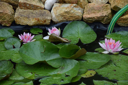 Beautiful water lily in my garden pond