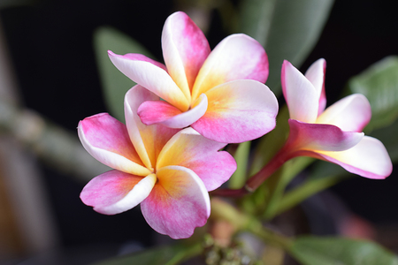 beautiful plumeria close up in my garden
