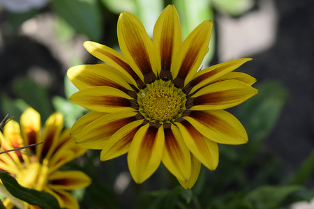 colorful gazania close up