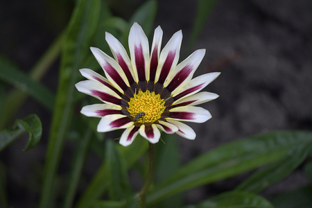 nice colorful gazania in my garden