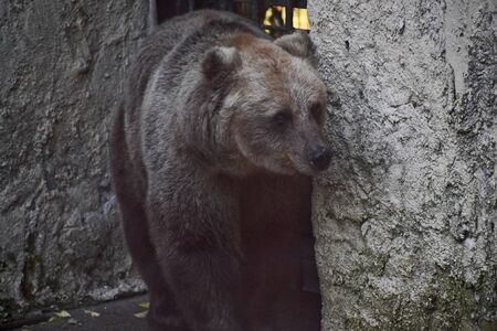 brown bear in the cave