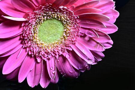 a very nice pink gerber close up 版權商用圖片
