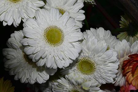 a very nice white gerber close up