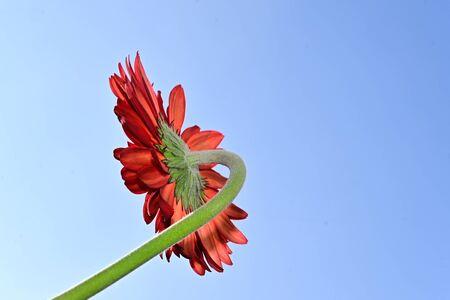 a very pretty red gerbera in the sunshine