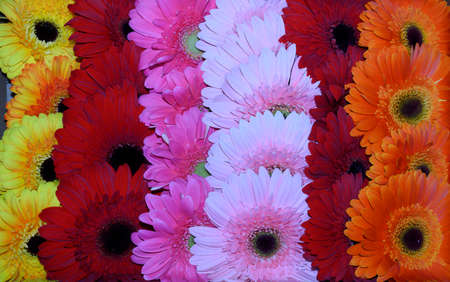 beautiful colorful gerbera flower close up