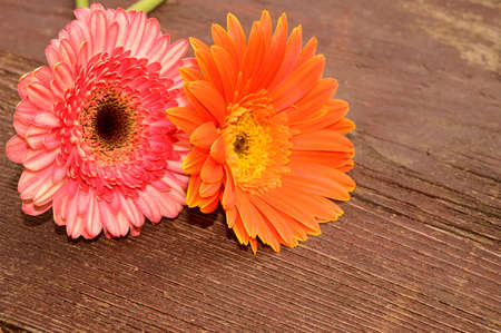 very pretty colorful gerbera flower close up