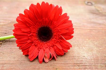 beautiful color gerbera flower close up