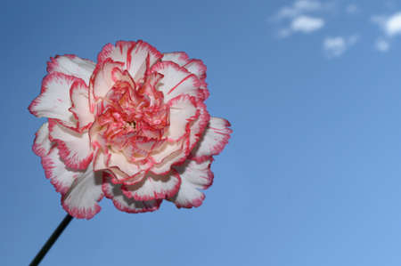 beautiful color carnation in the sunshine