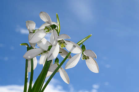 beautiful bouquet snowdrop in the sunshine