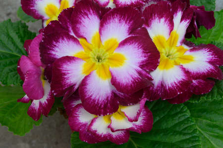 very pretty colorful spring garden flower primula