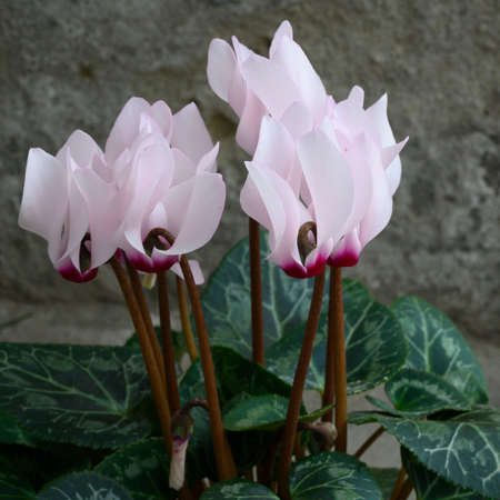 very pretty spring flower colorful cyclamen