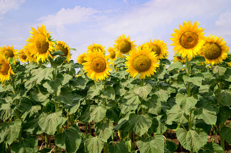 sunflowers very nice wild flower in the nature Archivio Fotografico