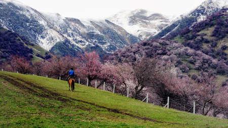 xinjiang: Hua Gou China Xinjiang full of wild apricot