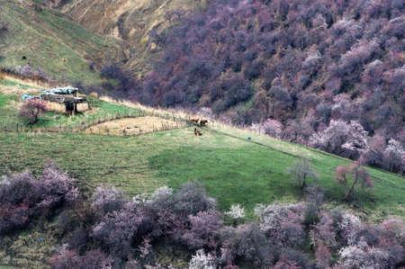 xinjiang: Hua Gou Chine Xinjiang pleine d'abricot sauvage