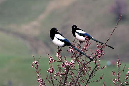 xinjiang: Xinjiang Yili flower and bird Stock Photo