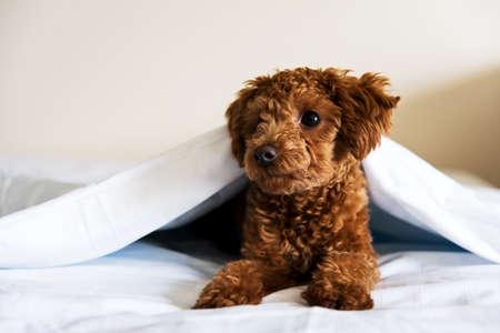 white blanket: A brown dog in white blanket