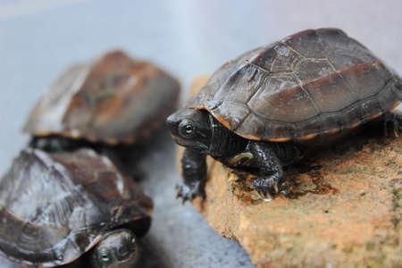vertebrate animal: Tortoise - Chinemys reevesiis
