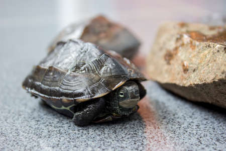 reptilia: Tortoise - Chinemys reevesiis
