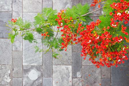 eukaryotic: Delonix regia flowers Stock Photo