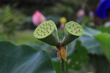 seedpod: lotus root