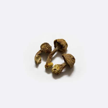 agaricus: Agaricus blazei Murill