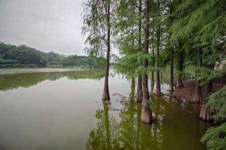 The lake of Metasequoia Stock Photo