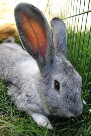 lop lop rabbit white: Close up a rabbit