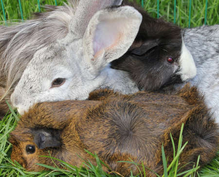 lop lop rabbit white: Rabbit with Guinea Pigs