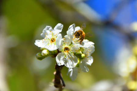 bee on flower: Bee on White Blossom