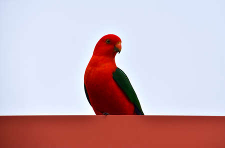 King Parrot Sitting on Roof