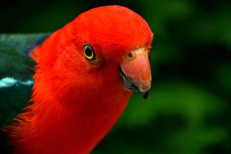 King Parrot Portrait Stock Photo