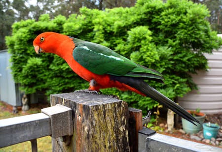 King Parrot on Fence