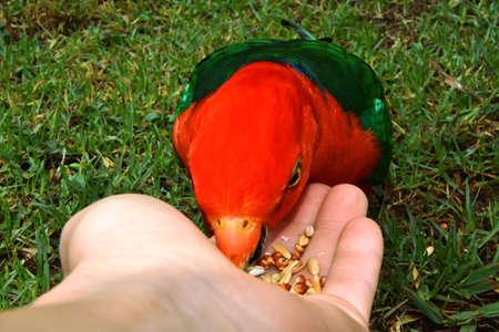 Hand Feeding King Parrot