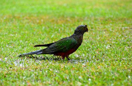 King Parrots in the Rain Stock Photo