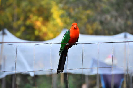 Male King Parrot on a Fence