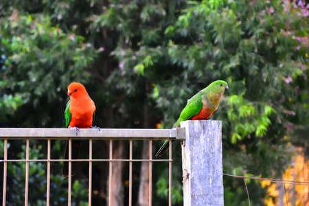 King Parrots Flirting Stock Photo