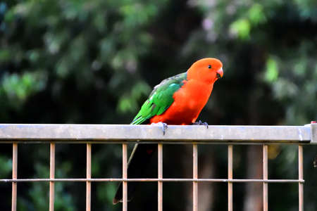 King Parrot on a Fence Stock Photo