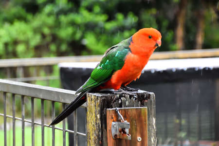 King Parrot in the Rain