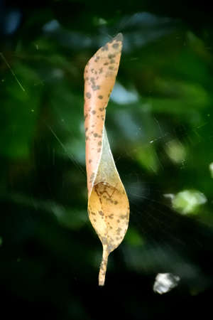 Spider Inside Leaf